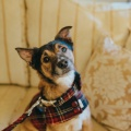 cute dog in a matching tartan jacket